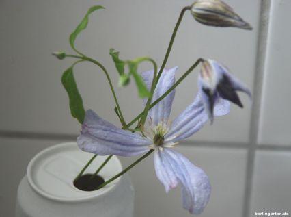 Wusstest du, dass Clematis lange in der Vase hält?