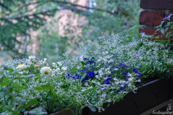 Ein Blütenschleier auf dem Balkon: Zauberschnee, Männertreu und Co. haben sich mit Hilfe von SUBSTRAL prima entwickelt