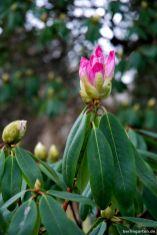 Vorfrühlings-Alpenrose Rhododendron praevernum