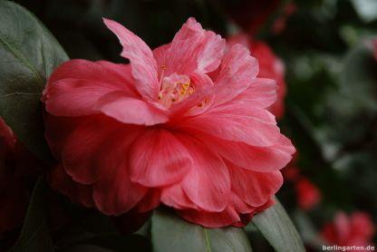 Kamelie Camellia japonica Beauté de Nantes