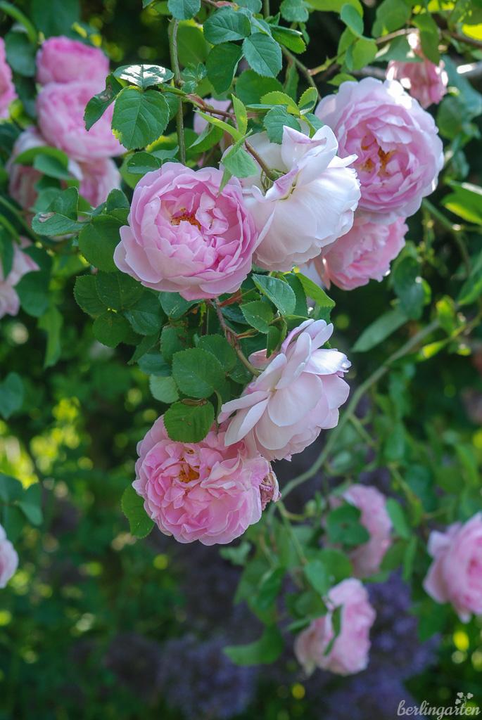 Rose 'Constance Spry' mit ihrem üppigen Habitus und traumhaften Duft ist der Inbegriff einer romantischen Rose