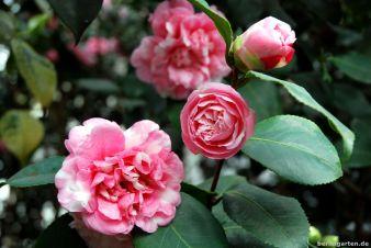 Kamelie Camellia japonica Prinz Albert