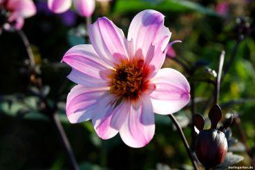 Die Bishop-Dahlien haben ein tolles lila Laub, hier Dahlie 'Bishop of Leicester'