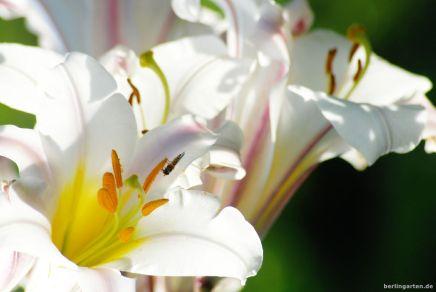 Die Königslilie Lilium regale