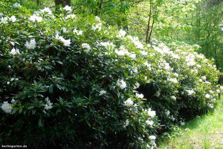 Die Rhododendren blühen