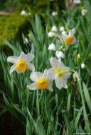 Die Sommerknotenblume in Gemeinschaft mit Narzissen