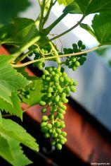 Die Weintrauben wachsen prächtig