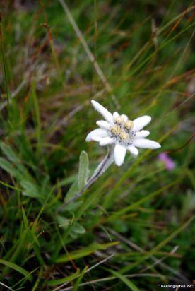 Edelweiss Lenotopodium alpinum