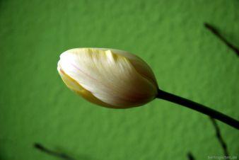 Tulpen mit Astschnitt