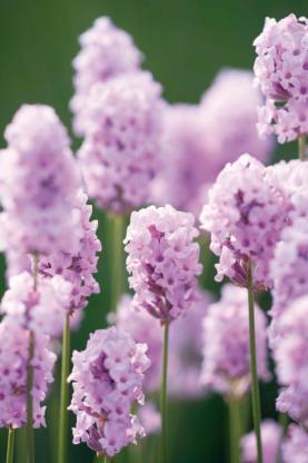 Englischer Lavendel rosa