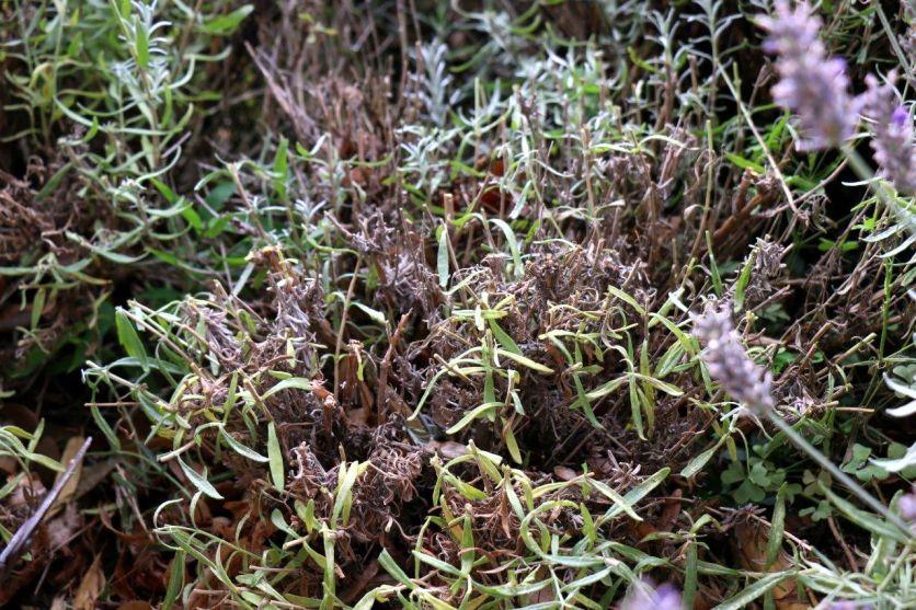 Ergebnis Septemberschnitt Lavendel