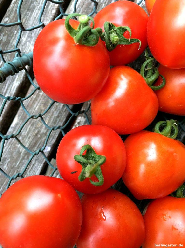 Ernte Tomate Heartbreaker
