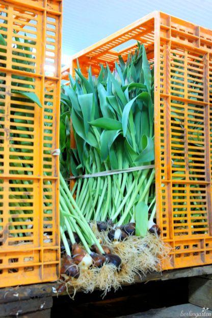 Fertige Tulpen noch mit Zwiebeln