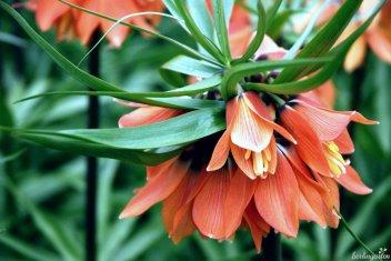 Fritillaria Brahms ist eine der neuen Komponisten-Sorten