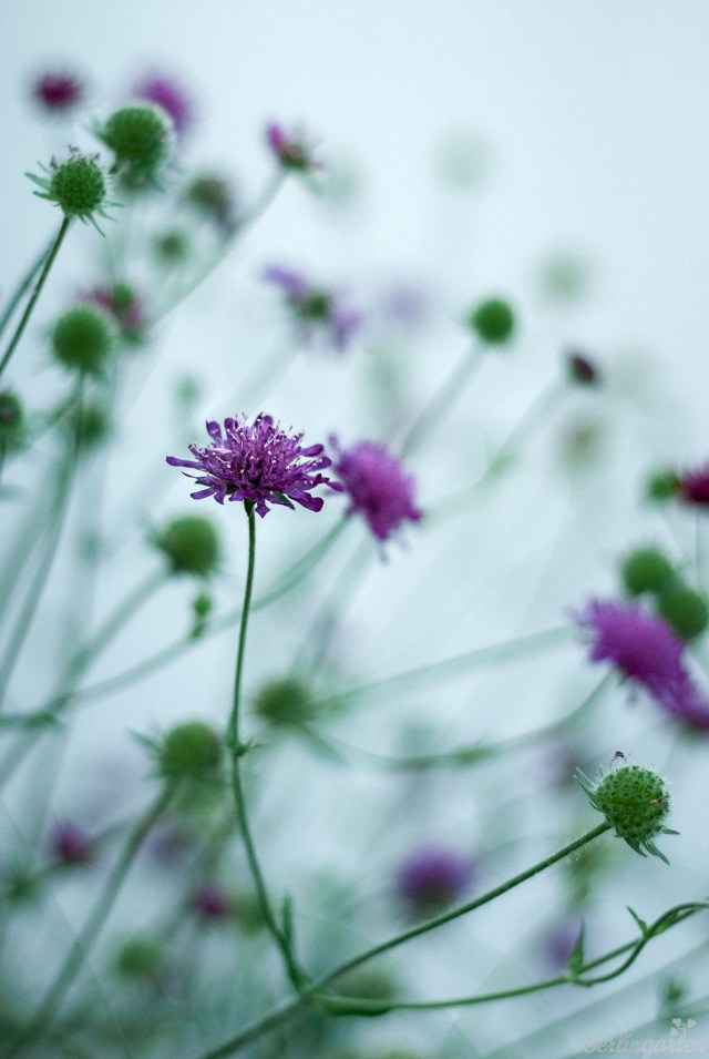 Purpur-Witwenblume (Knautia macedonica) in lila mit langer Blütezeit