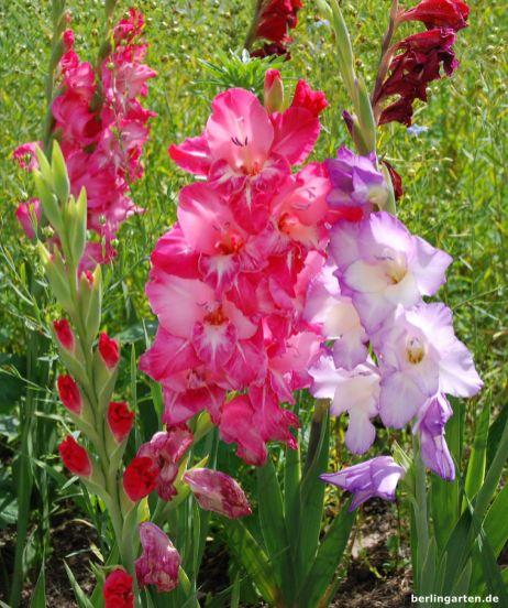 Wusstest du, dass die Blüten der Gladiole essbar sind?