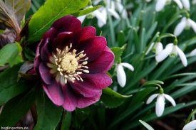 Helleborus lila halbgefüllt