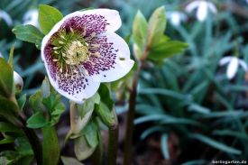 Helleborus White Spotted