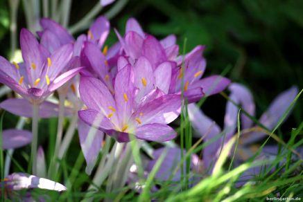 Meine Lieblingssorte Herbstzeitlose Violet Queen.