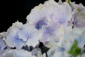Hortensie Everbloom Blue Wonder