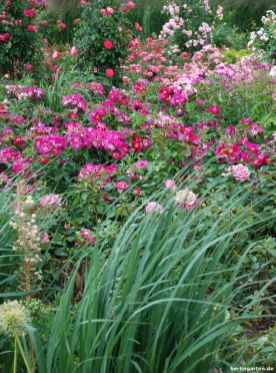 Im Rosengarten sind mehr als 5.000 Rosen aufgepflanzt