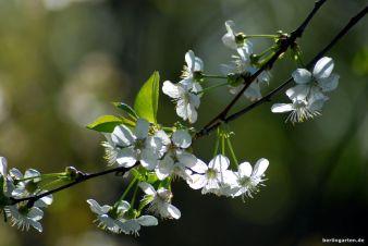 Schleierzarte Kirschblüte