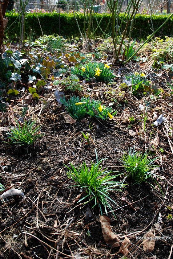 Krokus eingepflanzt