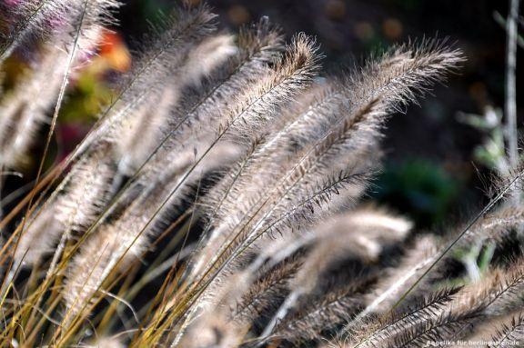 schön ist der Herbst mit Pennisetum, dem Lampenputzergras