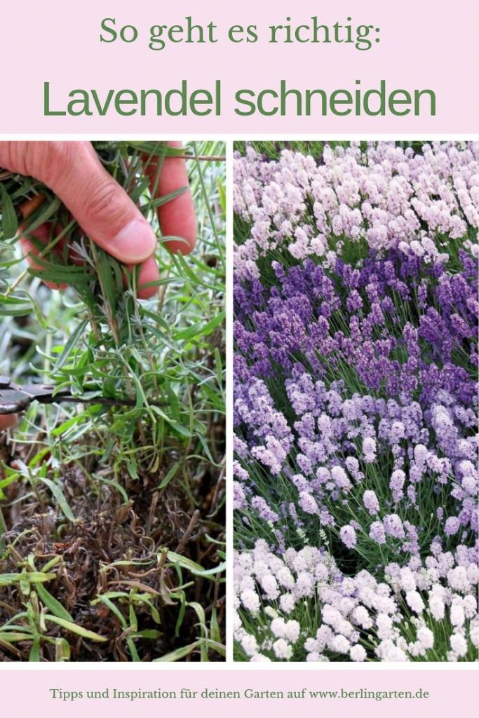Lavendelschnitt richtig gemacht