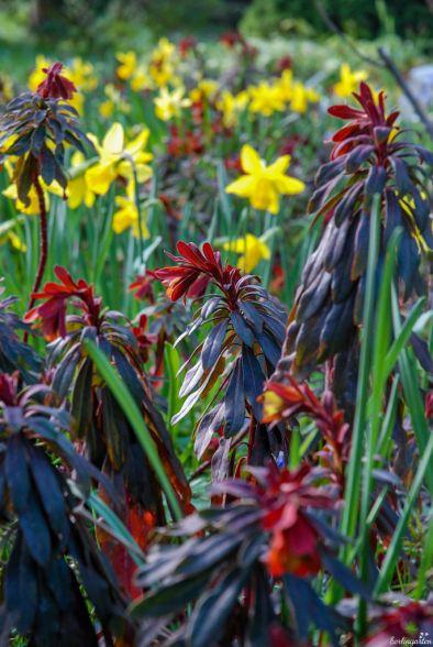 Starke Farben im Frühlingsgarten: Narzissen und Mandelwolfsmilch Euphorbia amygdaloides 'Purpurea'