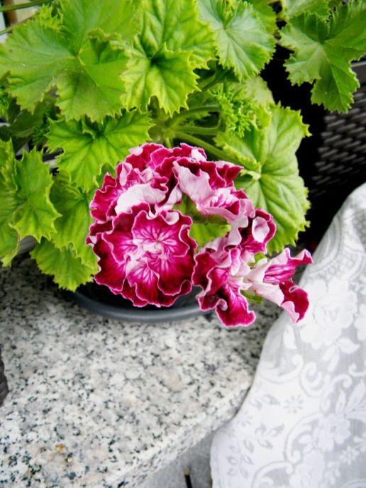 Pelargonie 'Marchioness of Bute' mit weißem Auge und gerüschten Blütenblättern
