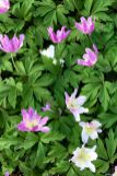Anemone nemorosa 'Monja' bringt Abwechslung in die Buschwindröschen-Sippe