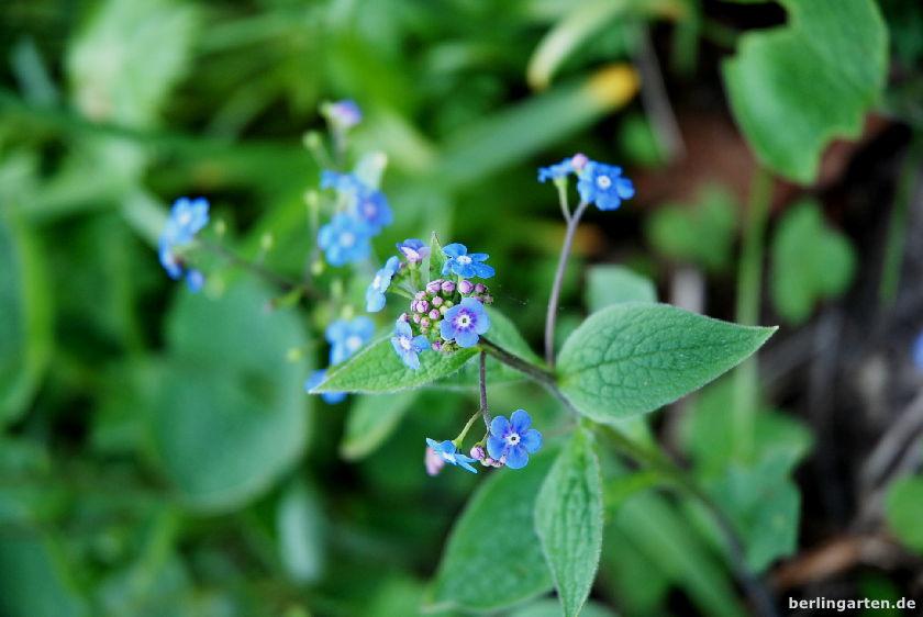 Kaukasusvergissmeinnicht Brunnera macrophylla