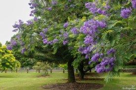 Ein Traum in violett ist der Palisanderholzbaum Jacaranda