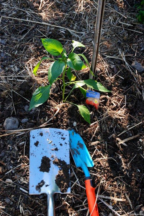 Paprika auspflanzen