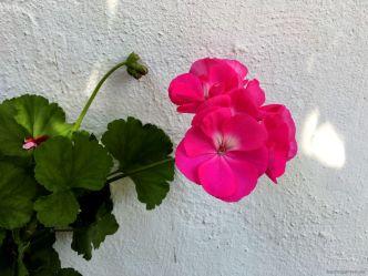 Pelargonie, Stolz jedes Hauses