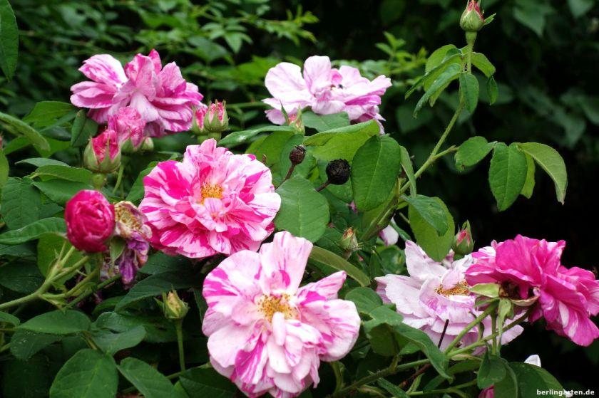 Purpur-rosa gestreift Rose Versicolor