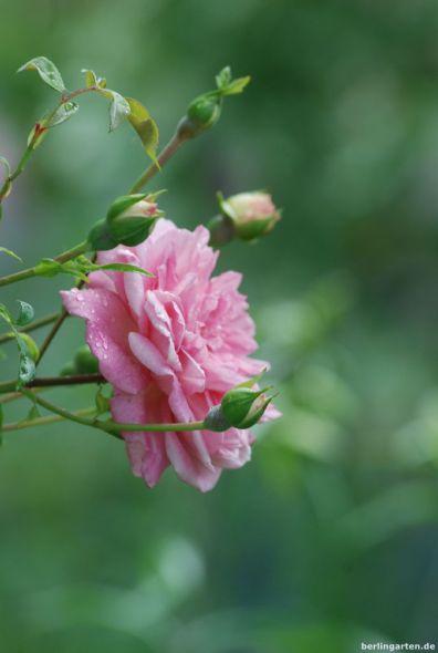 Rambler-Rose Paul Noel