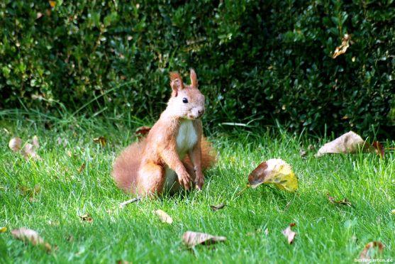 Rasenfan Eichhörnchen