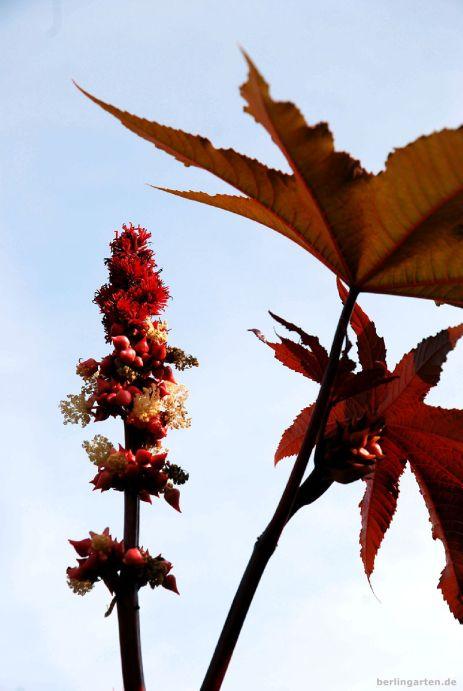 Rhizinus - auch er ein exotisches Gewächs, das gut in Hidcotes rote Rabatte passen würde