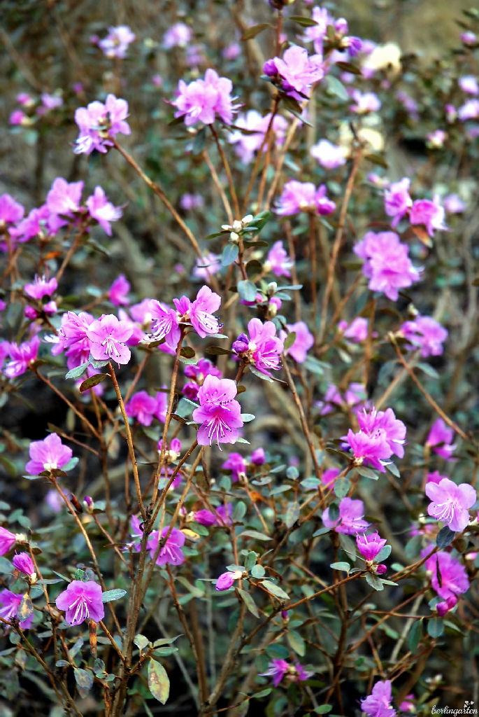 Wie aus einer anderen Welt wirkt die frühe Blüte der Ussuri-Alpenrose Rhododendron sichotense