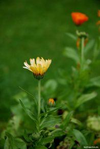 Arzneipflanze Ringelblume