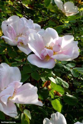 Rose Nevada