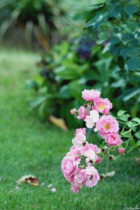 Rose Rasen