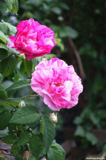 Rose Versicolor