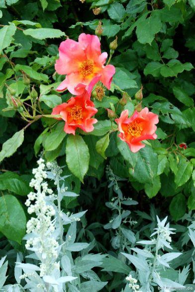 Rose und Artemisie in Wisley