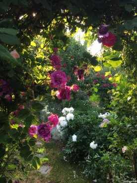Rosenbogen mit Rose Himmelsstürmer und Blick auf Pfingstrose 'Festiva Maxima'