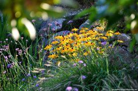 Liebling Rudbeckia. Im Herbst keinesfalls zurückschneiden!