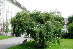 Rund 100 Jahre alter Rosenstrauch