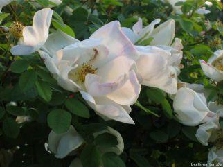 Sanftes Licht mit Rose Nevada